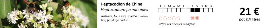 Heptacodium-jasminodes1