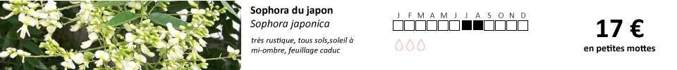 Sophora-japonica1