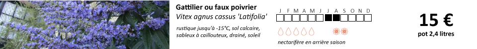 Vitex-agnus-cassus-Latifolia1
